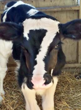 7_cow