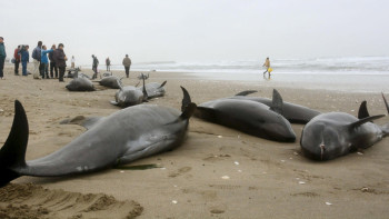 beached_whales2
