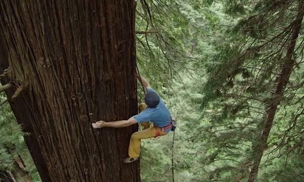 climbing_redwood