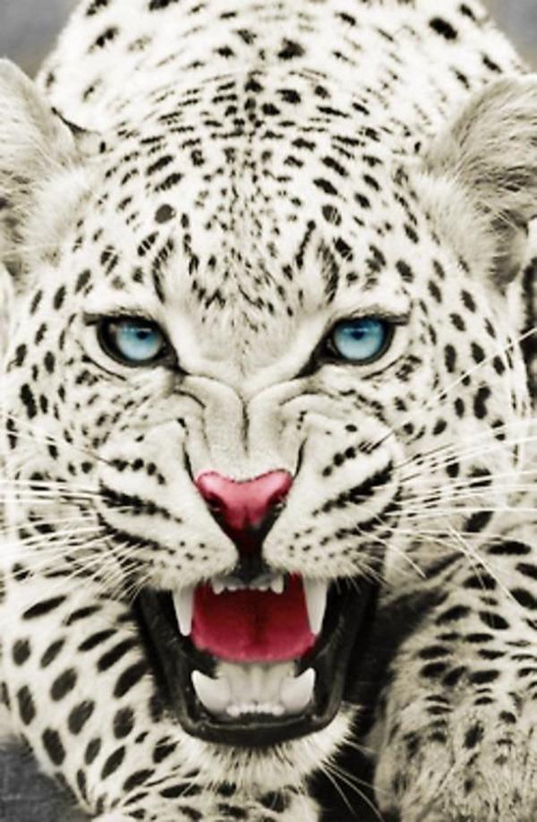 snow_leopard_hiss